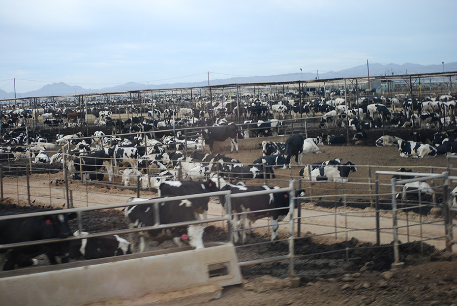 92,000 cows in Yuma